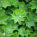 Постер, плакат: Green Astilboides leaves shady flower bed with raindrops