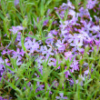 Flower bed with blooming scilla flowers (Chionodoxa sardensis) — Stock Photo