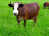 Brown white cows on a farmland — Стоковое фото