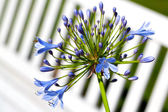 Agapanthus africanus flowers (African lily) — Stock Photo