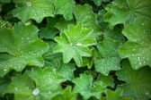 Green Astilboides leaves, shady flower bed with raindrops — Stock Photo