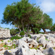 Olive trees — Stock Photo #26206051