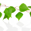Birch leaves isolated on white background. — Stock Photo