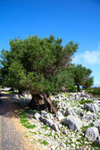 Olive trees in dalmatia, Croatia. — Stock Photo