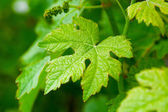 Green vine leaf — Stock Photo