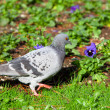 Stock Photo: Pigeon