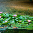 Pink water lily and leaf in pond — Stok fotoğraf