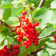 Stock Photo: Red currants on bush.
