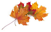 Maple autumn leaves isolated on white background — Stock Photo