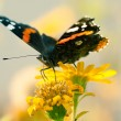 A closeup of the wonderful colored small tortoiseshell butterfly — Stock Photo