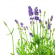 Stock Photo: Bunch of lavender flowers on white background