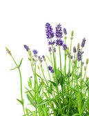 A bunch of lavender flowers on a white background — Stock Photo