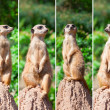 Stock Photo: Meerkat suricatwatching predators