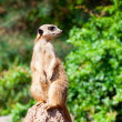 Stock Photo: meerkat suricata watching predators