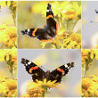 Set of the wonderful colored small tortoiseshell butterfly (Agla — Stock Photo