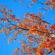 Autumn tree on blue sky. — Stock Photo
