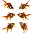 Set of goldfish isolated on white background — Photo