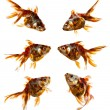 Set of goldfish isolated on white background — ストック写真
