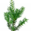 Branch of Christmas tree on white background — Foto de Stock