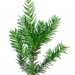 Branch of Christmas tree on white background — Stock fotografie #33176913