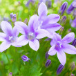 Beautiful spring background with campanula bouquet. — Stock Photo #34704679