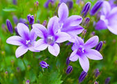 Beautiful spring background with campanula bouquet. — Stock Photo