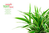 Chlorophytum - evergreen perennial flowering plants in the famil — Stock Photo