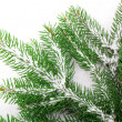 图库照片: Branch of Christmas tree on white background