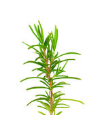 Twig of rosemary on a white background — Stock Photo