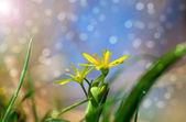 内蒙古顶冰花属是春天的花朵,生长在潮湿的落叶林地. — 图库照片