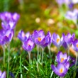 Постер, плакат: Crocuses field