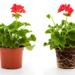 Geranium are often used flowers for the balcony, isolated on a w — Stock Photo