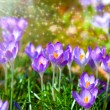 Постер, плакат: Macro shot of Crocuses field with sunlight