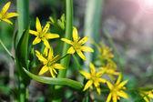 Gagea est fleurs de printemps, pousse dans les forêts claires décidues humide. — Photo