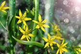 Geelster lentebloemen is, groeit in vochtige bladverliezende bossen. — Stockfoto