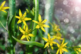 Gagea is spring flowers, grows in damp deciduous woodland. — Stock Photo