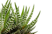 Aloe isolated on white backgroun — Stock Photo