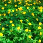 Yellow buttercup flower the spring (Potentilla recta) — Stock Photo