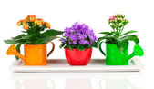 Blue campanula and kalanchoe Calandiva flowers, on white backgro — Stock Photo