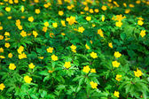Yellow buttercup flower the spring (Potentilla recta) — Stock Photo