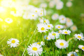 Daisies in a meadow with sunlight, close-up — Stock Photo