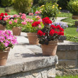 Geranium and flower garden built on terrace — Stock Photo