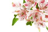 Alstroemeria pink flower isolated on white — Stock Photo