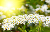 White Spiraea (Meadowsweet)  flowers early spring - shrub in the — Stock Photo