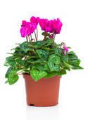 Pink cyclamen on a white background. — Stock Photo