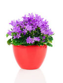 Blue campanula flowers in red pot, on white background — Stock Photo