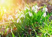 Cerca de la primavera de flores. flores de primavera salvaje — Foto de Stock