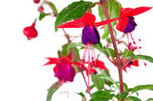Blooming fuchsia (fuschia hybrida), isolated on a white backgrou — Stock Photo
