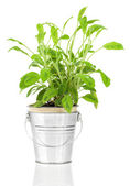 Sage herb plant growing in a distressed pewter pot, isolated ove — Stock Photo
