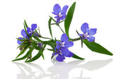 A sprig of blue lobelia on a white background. — Stock Photo